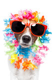 Funny dog  hawaiian  lei and sunglasses Royalty Free Stock Images