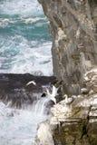 gannets 免版税库存图片