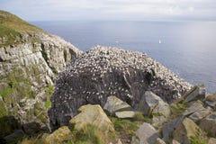 gannets 库存图片