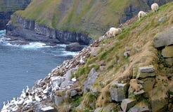 gannets 图库摄影