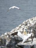 gannets 免版税图库摄影