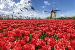 Ganzen die over eindeloos rood tulpenlandbouwbedrijf vliegen Royalty-vrije Stock Foto