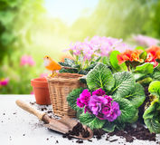 Gardening set on table with flowers, pots, potting soil and plants on sunny garden Stock Photo