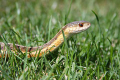Garter Snake in the Grass Stock Photos