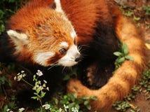 Gatto di leopardo, piccolo panda Immagine Stock