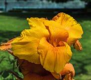 Gelbe und orange Canna-Blume im Garten Stockfotos