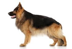 German shepherd dog in stand Royalty Free Stock Photos
