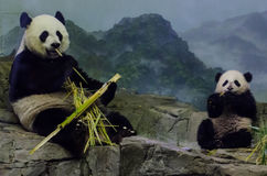 Giant panda and cub eat bamboo Royalty Free Stock Images