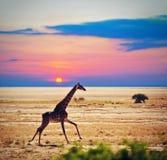 Giraf op savanne. Safari in Amboseli, Kenia, Afrika Royalty-vrije Stock Fotografie