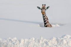 Giraf in sneeuw Royalty-vrije Stock Afbeelding