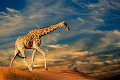 Giraffe on sand dune Stock Photos