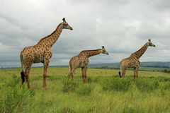 Giraffes in Tala Game Reserve, South Africa Stock Photos