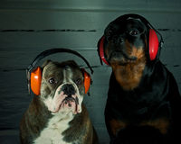 Dog with hearing protection Stock Photos