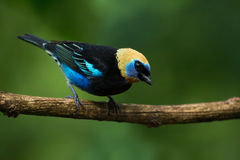Golden-hooded Tanager Royalty Free Stock Photography