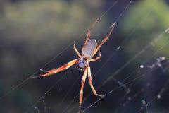 Golden Orb Weaving Spider Stock Photography