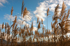 Golden reed field Stock Images