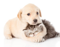 Golden retriever puppy dog hugging british cat. isolated Royalty Free Stock Photography