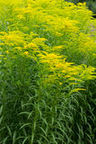 Golden Rod Royalty Free Stock Photos