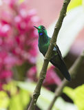 Grün-gekrönter glänzender Kolibri Stockbilder