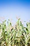 Grünes Feld von wachsendem hohem des Mais Stockbilder