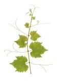 Grape vine Stock Photography