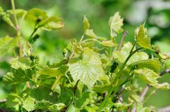 Grape vine in bloom Stock Photography
