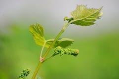 Grape vine in bloom Stock Photos