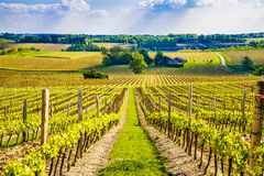 Grape vines in a French vineyard Royalty Free Stock Image