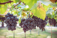 Grapes fruit in farm viticulture Royalty Free Stock Photo