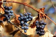Grapes on vine Royalty Free Stock Photos