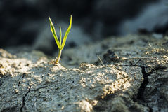 Grass shoot. Royalty Free Stock Photography