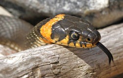 Grass snake Stock Photography