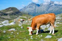 Grazing cow Royalty Free Stock Photos
