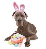 Great Dane Easter Bunny Royalty Free Stock Photos