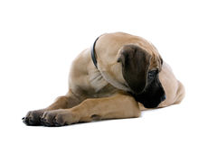 Great Dane pup Royalty Free Stock Images