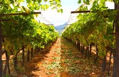 Greek vineyard Stock Image