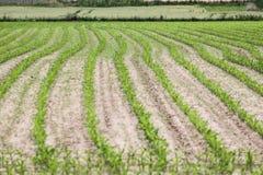 Green farm field Stock Photo