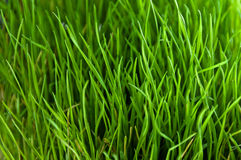 Green grass close up pattern Stock Photo