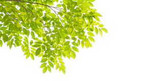 Green leaves and branches Royalty Free Stock Photo