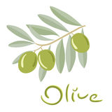 Green olives on a branch with leaves Stock Images
