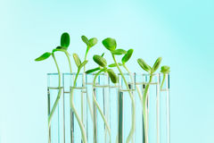Green plants in a row of test tubes with water Royalty Free Stock Photos