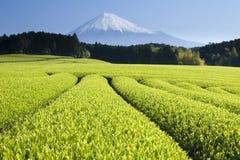 Green Tea Fields V Royalty Free Stock Image