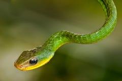 Green Vine Snake Stock Photography