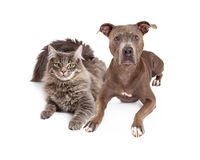 Grey Cat and Dog Laying Together Stock Photo