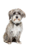 Grey and white mixed breed dog Royalty Free Stock Photography