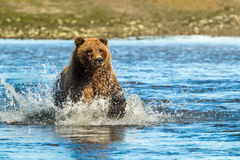 Grizzly Bear Fishing Stock Photo