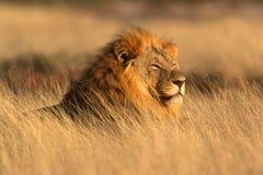 Grote mannelijke leeuw Royalty-vrije Stock Afbeeldingen