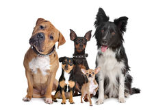 Group of five dogs Royalty Free Stock Images