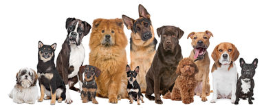 Group of twelve dogs Stock Images