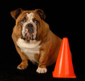 Guilty english bulldog Stock Photo